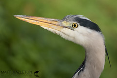 Grey heron (Matt Hazleton) Tags: greyheron ardeacinerea bird wildlife nature animal outdoor canon canoneos7dmk2 canon100400mm eos 7dmk2 100400mm matthazleton matthazphoto cambridgeshire