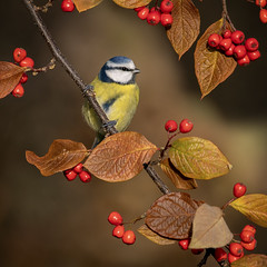 Blue tit (andywilson1963) Tags: bluetit bird wildlife nature scotland british berries autumn woodland