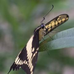 Papilio thoas (Ouwesok) Tags: sonya6000 vivitar2590mmmacro thoaspage papiliothoas vlinder insect vlindertuin burgersmangrove