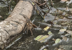Raft Spider. (watt.charlene) Tags: spider arachnid animal wildlife raftspider dorset arne rspb rspbarne nikond500 nikon d500 invertebrate
