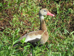 Black-bellied Whistling Duck (Dendrocygna autumnalis) (Gerald (Wayne) Prout) Tags: blackbelliedwhistlingduck dendrocygnaautumnalis animalia chordata aves neornithes neognathae anatidae dendrocygninac blackbellied whistling duck ducks bird birds animal animals aquaticbird waterfowl fauna nature wildlife wadingbirdway bananacreekmarsh circlebbarreserve cityoflakeland polkcounty florida usa prout geraldwayneprout canon canonpowershotsx60hs powershot sx60 hs digital bridge camera photographed photography bananacreek marsh circleb bar reserve conservation trail city lakeland polk county stateofflorida