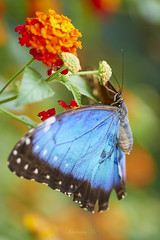_DRL7127 (romain-dreux-photo) Tags: papillon butterfly colors nature canada québec
