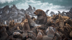 Near Robben island (bdg-photography) Tags: robben island seal seals southafrica cape town capetown animal animals animalphotography sea boat natur nature naturephotography natural telelens tele