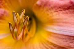 Day lily stamen (Johan Grobbelaar) Tags: daglelie flowersarefabulous