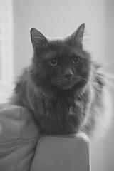 Overseer (flashfix) Tags: november212019 2019inphotos flashfix flashfixphotography ottawa ontario canada nikond7100 40mm kitty nose fyero nebelung ragamuffin ragdoll fluffy gray cat light natural watching monochrome blackandwhite