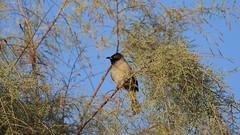 Бюльбюль (unicorn7unicorn) Tags: птица дерево ветка нфд бюльбюль