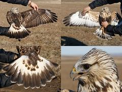 Rough-legged Hawk (npaprock) Tags: roughleggedhawk hawk buteo buteolagopus washington movementecology gpsptt telemetry research phd universityofidaho