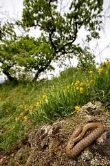 Coronella2 (fabio-geisen) Tags: coronella snake nature kaiserstuhl reptile spring frühling natur farben blumenwiese