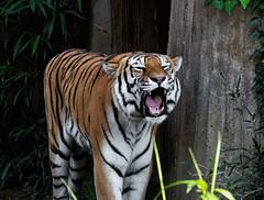 Roaring (*Millie*) Tags: tiger smithsoniannationalzoo washingtondc zoo animal wild fur canoneosrebelt6i ef70300mmf456isiiusm animalplanet milliecruz
