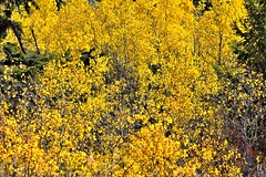 A Forest of Yellows Along a Hillside