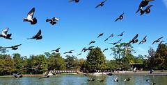 Birds in the Park (Ellsasha) Tags: birds avian park hermannpark pigeons lake water sky blue blues