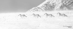 Band on the Run - BW (Pat Kavanagh) Tags: coyote snow blizzard waterton alberta canada sequence manipulation panorama composite compositing