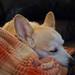 Sleeping Corgi [FlickrFriday] [Unaware]