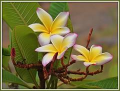 Canarian Flower (Rolf Dietrich Brecher) Tags: lagomera canarischeinseln canaryislands canarias