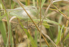 Nursery Web Spider. (watt.charlene) Tags: spider arachnid animal wildlife invertebrate dorset arne rspb rspbarne nurserywebspider nikon d500 nikond500