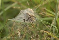 Nursery Web Spider. (watt.charlene) Tags: spider animal wildlife invertebrate arachnid nurserywebspider dorset arne rspb rspbarne nikon nikond500 d500