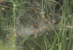 Labyrinth Spider. (watt.charlene) Tags: spider invertebrate arachnid wildlife animal dorset rspb rspbarne arne nikond500 nikon d500 labyrinthspider