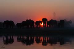 Gathering of Giants (Glatz Nature Photography) Tags: africa botswana chobenationalpark choberiver glatznaturephotography nature nikond5 wildanimal wildlife elephants elephantbay loxodontaafricana silhouette sunset backlight