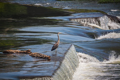 Heron at the Fallls (Brad Prudhon) Tags: 2019 city daytrips downtown heron jamesriver june lakesrivers petersburg richmond virginia