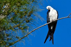 Swallow-Tailed Kite (bmasdeu) Tags: swallowtail kite bird endangered beautiful