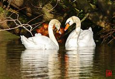 Un cœur pour un début d'un parade chez les cygnes (mamnic47 - Over 11 millions views.Thks!) Tags: maresaintjames sigma150600mm oiseaux cygnes 20112019 parade