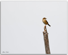 Golden-headed Cisticola (Bear Dale) Tags: goldenheaded cisticola against clouded greyed out sky scientific name exilis ulladulla southcoast new south wales shoalhaven australia beardale lakeconjola fotoworx milton nsw nikond850 photography framed nature nikon bear d850 space naturephotography naturaleza bird stick branch