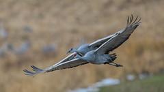 Harmony (Paul McGoveran) Tags: bif bird birdinflight longpoint nature nikon500mmf4 nikond850 norfolkcounty sandhillcrane wings coth5 specanimal specanimalphotooftheday