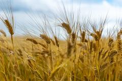 CDC Bow In Field (Bracus Triticum) Tags: cdc bow in field アルバータ州 alberta canada カナダ 8月 八月 葉月 hachigatsu hazuki leafmonth 2019 reiwa summer august