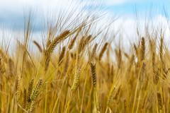 CDC Bow Heads (Bracus Triticum) Tags: cdc bow heads barley アルバータ州 alberta canada カナダ 8月 八月 葉月 hachigatsu hazuki leafmonth 2019 reiwa summer august