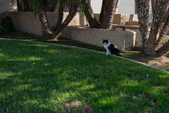 The Cats of University Heights: Jedi (Joe Wilcox) Tags: fujigfx50r fujifilm catsofuniversityheights cats animals sandiego