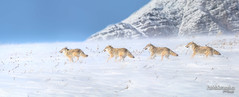 Band on the Run (Pat Kavanagh) Tags: coyote snow blizzard waterton alberta canada sequence manipulation panorama composite compositing