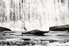 Patience (mr.ponch) Tags: longexposure creek water waterfall heron birds animals landscape outdoor outdoors nature
