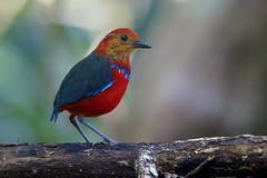 Blue banded Pitta (sayalah arry) Tags: blue banded pitta red green jungle mountain nature sabah malaysia bird birds animal perch big cute neckless wakanda