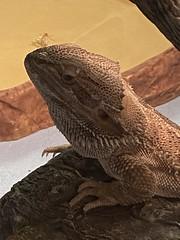 Broox (Bucky-D) Tags: dragon lizard bearded broox iphone11 beardeddragon