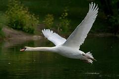 Mute swan in flight (6K high resolution version) (Franck Zumella) Tags: swan white blanc cygne oiseau bird flight voler lac lake animal wildlife nature bif fast rapide some sony a7r a7 tamron 150600 mute tubercule