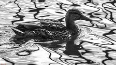 Duck - 7744 (✵ΨᗩSᗰIᘉᗴ HᗴᘉS✵85 000 000 THXS) Tags: canard colvert water nature duck blackandwhite monochrome belgium europa aaa namuroise look photo friends be yasminehens interest eu fr party greatphotographers lanamuroise flickering