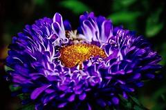 Aster (prokhorov.victor) Tags: цветок цветы цветение растения флора сад природа макро