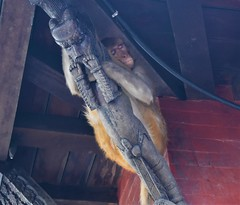 monkey temple (felixleblancprat) Tags: buddha monkeytemple visit nepal woodwork sculpture sleep animal chilling chill katmandou temple singe monkey