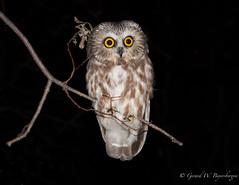 Northern Saw-whet Owl (Turk Images) Tags: aegoliusacadicus aspenparkland northernsawwhetowl owlbanding alberta birds nsow owls strigidae tofield fall migration