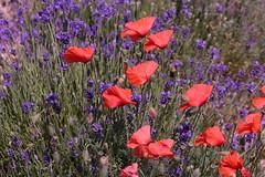 P1140532 (alainazer) Tags: simianelarotonde provence france fiori fleurs flowers fields champs colori colors couleurs coquelicot poppy papavero lavande lavanda lavender