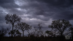 Rain soon, Talamati (Paul Perton) Tags: fuji krugerpark southafrica talamati xpro2 zeiss25mmf28biogon clouds silhouette sunset trees