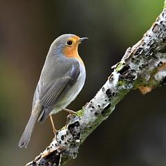 rougegorge / Erithacus rubecula 19E_4986 (Bernard Fabbro) Tags: erithacus rubecula rougegorge european robin familier oiseau bird