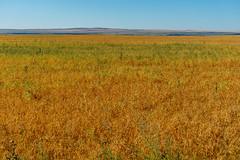 Alberta Peas (Bracus Triticum) Tags: alberta peas アルバータ州 canada カナダ 8月 八月 葉月 hachigatsu hazuki leafmonth 2019 reiwa summer august