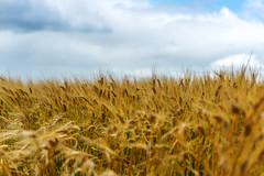 Wind in Barley (Bracus Triticum) Tags: wind barley アルバータ州 alberta canada カナダ 8月 八月 葉月 hachigatsu hazuki leafmonth 2019 reiwa summer august