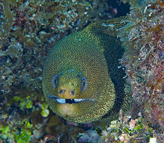 Goldentail Moray Eel (Gymnothorax miliaris) (oceanzam) Tags: scuba diving fish eel moray water underwater uwphoto life eyes face nature travel mexico cozumel coral reef colorful spots mouth teeth animal outdoors outside wildlife