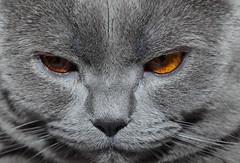 Antonio (Сonstantine) Tags: cats canon catslife catsoftheworld catscatscats portrait meowmeow meow thebestofcats british britishcats animals
