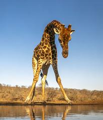Giraffe - Zimanga - South-Africa (wietsej) Tags: giraffe zimanga southafrica animal sony a7rii a7rm2 zeiss sal1635z 1635
