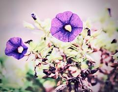 novembersurfinia (delnaet) Tags: blume bloem fleur flower surfinia flor flores flora fantasticnature
