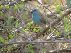 Hello!  ( Blue Waxbill  /  Gewone Blousysie ) (Pixi2011) Tags: birds krugernationalpark southafrica africa wildbirds nature
