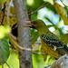 Green Oriole (Oriolus flavocinctus)